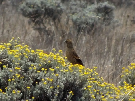Montane Marsh Widowbird