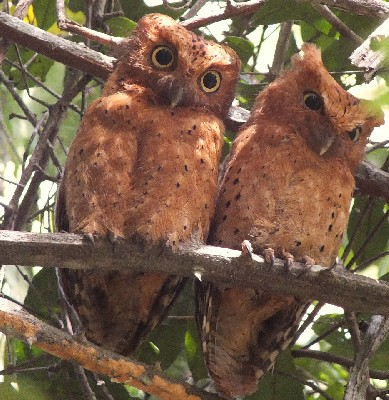 Sokoke Scops Owls Red Morph