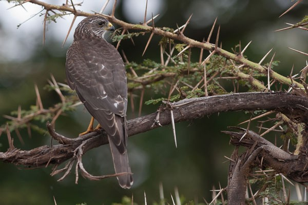 Levant Sparrowhawk in Ngorongoro Crater
