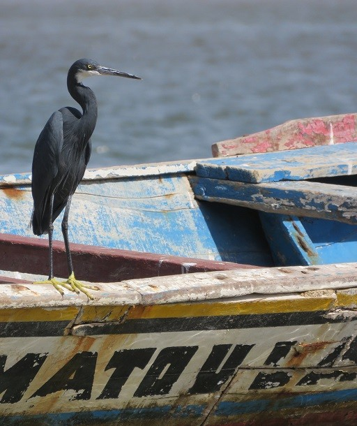 Western Reef Heron standing on a fishing boat