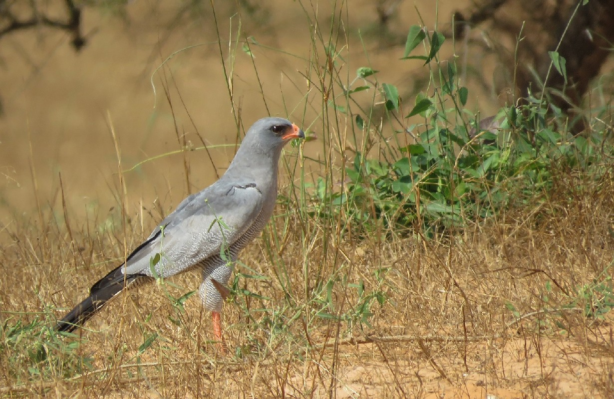Dark-chanting Goshawk