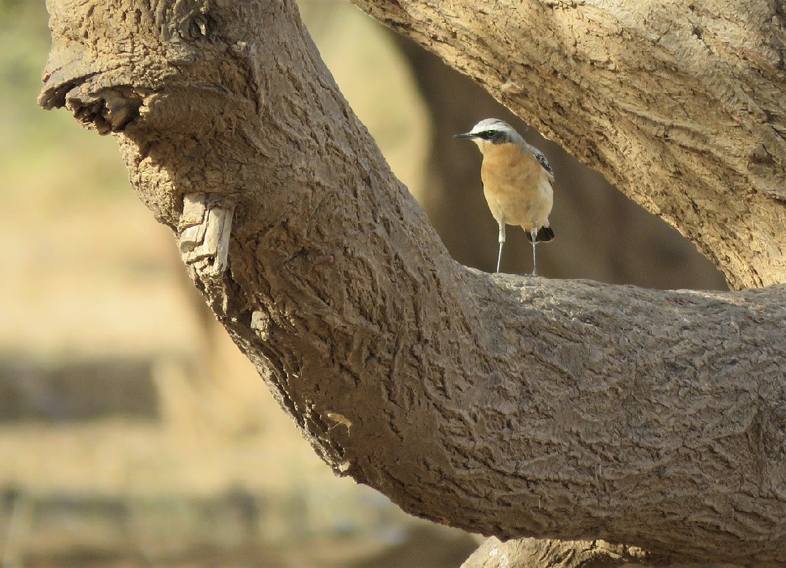 Northern Wheatear ssp. leucorrhoa