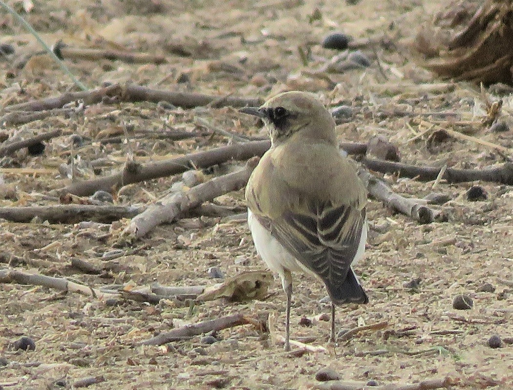 Seebohm's Wheatear on wintering grounds