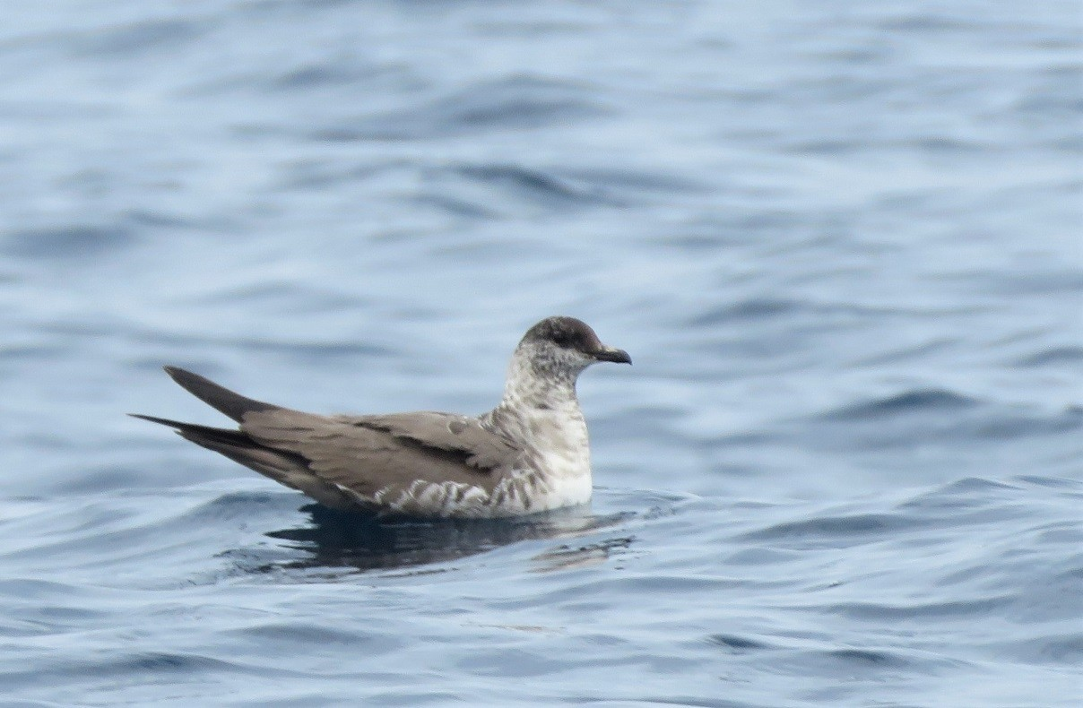 Long-tailed Skua moulting into 3rd winter plumage, off Dakar