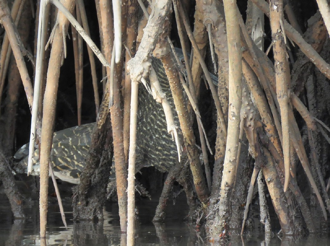 White-crested Tiger Heron in the Saloum delta